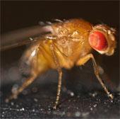 Những khám phá bất ngờ về loài ruồi giấm nhỏ bé