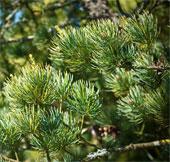 Thành lập khu bảo tồn các loài hạt trần quý hiếm ở Thanh Hóa