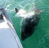 Câu được con cá mập nặng kỷ lục 2 tấn