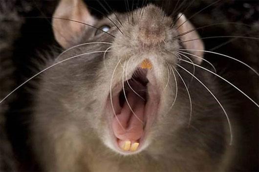 Người dân Anh hốt hoảng vì chuột khổng lồ hoành hành