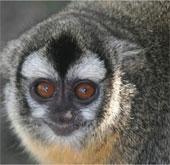 Loài khỉ cú sống chung thủy với bạn đời hơn con người