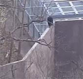 Video: Tinh tinh trèo tường trốn khỏi vườn thú