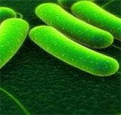 Báo động về chủng E.coli ST131