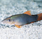 Nghiên cứu thành công kỹ thuật sản xuất giống cá heo