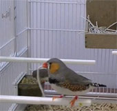 Loài chim có thể chọn vật liệu xây tổ tốt nhất