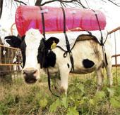 Thu khí thải từ bò