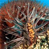 Diệt sao biển bằng phương pháp mới để bảo vệ san hô