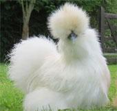 """Vẻ đẹp lạ lùng của loài gà Silkie trông như """"chó lông xù"""""""