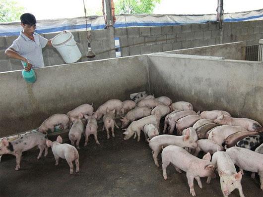 Nuôi lợn thịt sạch bằng men ủ vi sinh