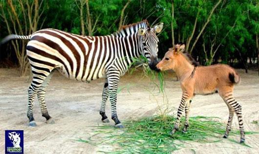 Sinh vật lạ được lai từ ngựa vằn và lừa