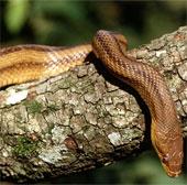 Cơn ác mộng rắn vua nâu