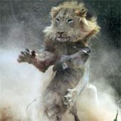 Cuộc hỗn chiến giữa lợn lòi và sư tử qua ảnh