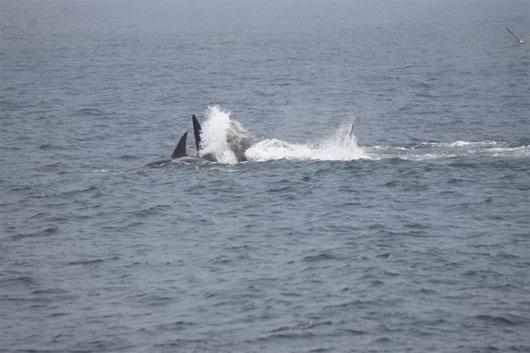 Video: Đàn cá voi hung dữ ăn thịt chính đồng loại