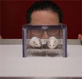 """Nghiên cứu trên chuột sai lệch vì """"mùi nam giới"""""""