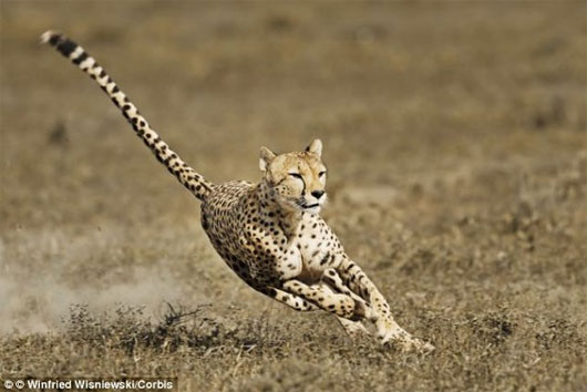 Phát hiện loài động vật chạy nhanh nhất thế giới