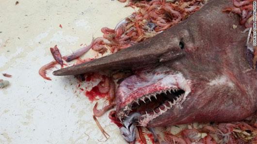 Bắt được con cá mập yêu tinh cực hiếm ở bờ biển Florida