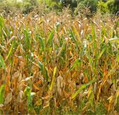 Nhiên liệu xanh từ phế phẩm cây bắp