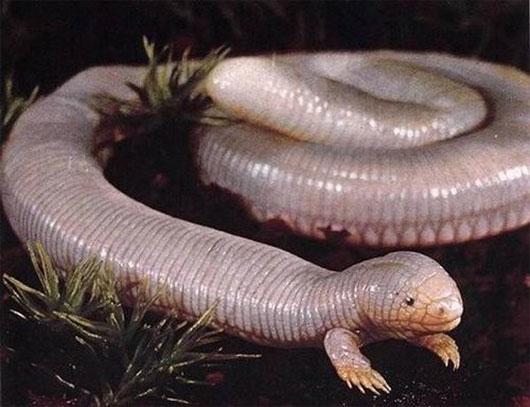 Loài bò sát lạ giống giun, rắn và rùa