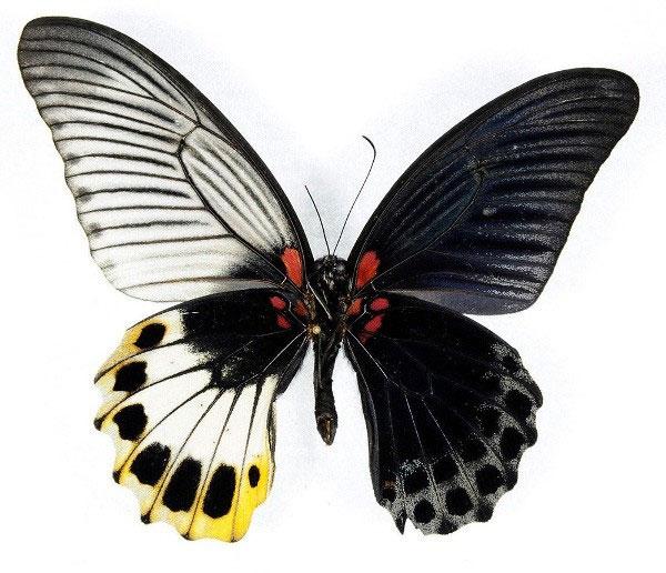 """Đôi cánh tuyệt đẹp của các loài bướm """"nửa đực nửa cái"""""""