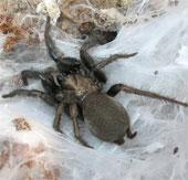 Các nhà khoa học giải mã thành công bộ gene của nhện