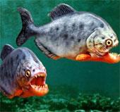 Video: Cá pirana bụng đỏ ăn thịt con mồi