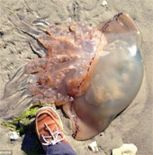 Con sứa khổng lồ dạt bờ biển Anh