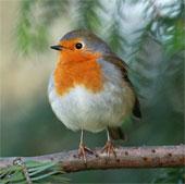 Sóng điện từ làm mất khả năng định hướng của chim di cư