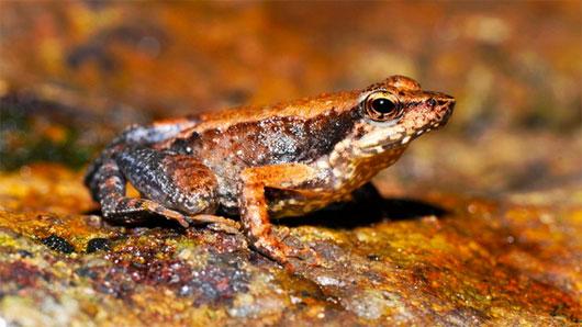 """Tìm thấy 14 loài ếch """"nhảy múa"""" mới ở Ấn Độ"""