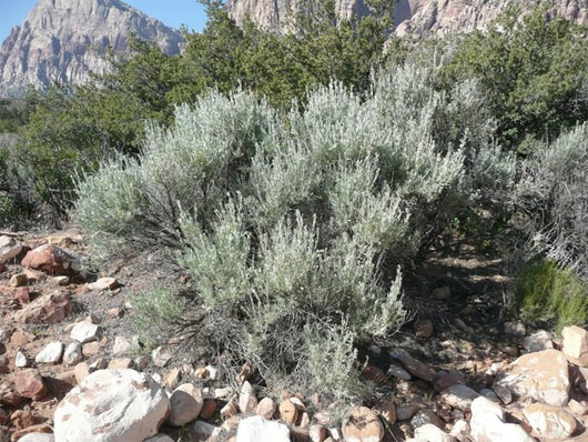 Artemisia tridentate