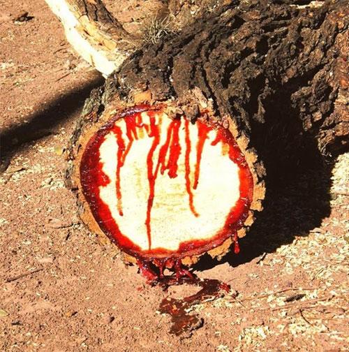 Cây biết chảy máu