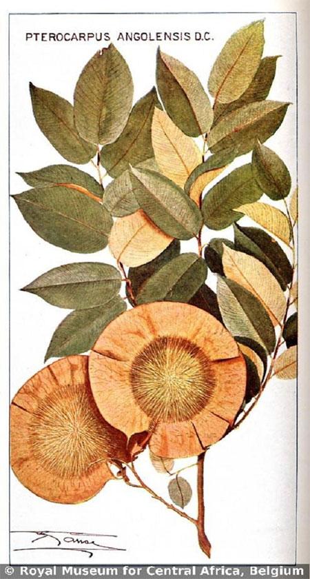 Hạt cây Pterocarpus angolensis cũng có hình dạng đặc biệt