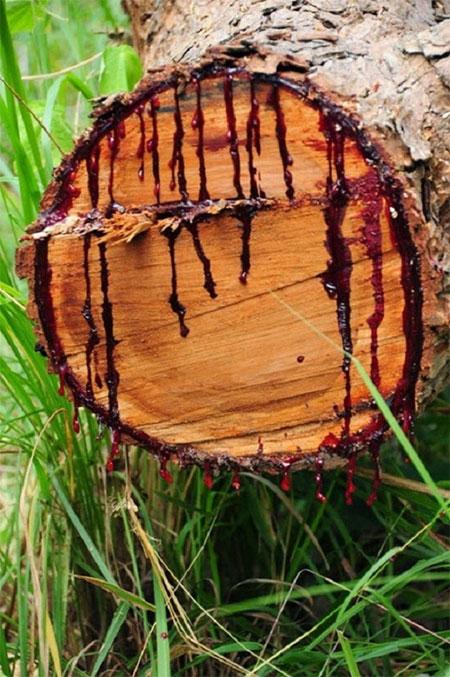 """Loài cây này đang """"chảy máu"""" do những tác động của con người"""