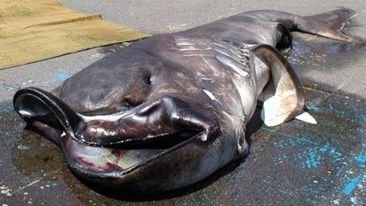 """Bắt được cá mập """"ngoài hành tinh"""" cực hiếm"""