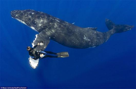 Độc đáo cảnh cá voi lưng gù bắt tay thợ lặn