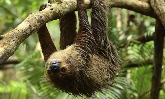 Loài lười Bradypus tridactylus có khả năng treo mình bất động trên cây nhiều giờ liền.