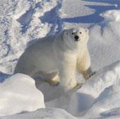 Gấu trắng ít có nguy cơ mắc bệnh tim mạch hơn con người