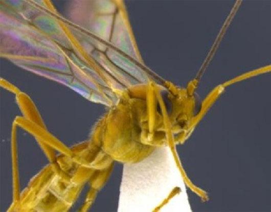 """Phát hiện mới về loài côn trùng ký sinh """"khát máu"""""""