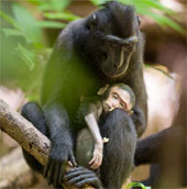 Khỉ mẹ đau buồn ôm xác con 3 ngày