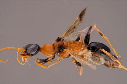 """Phát hiện loài ong """"hút hồn"""" ở Đông Nam Á"""