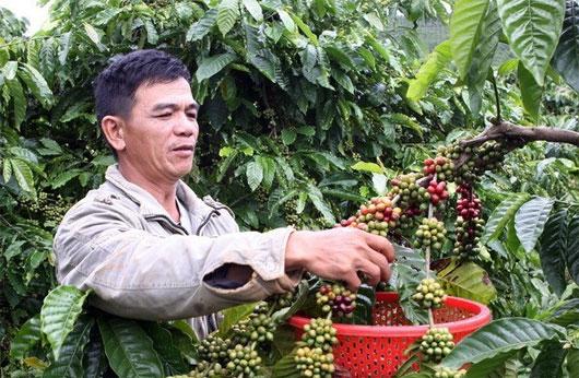 Tây Nguyên lai tạo giống cà phê mới để phát triển bền vững