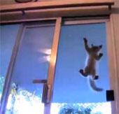 Video: Chú mèo có khả năng leo trèo trên mặt kính và mở cửa