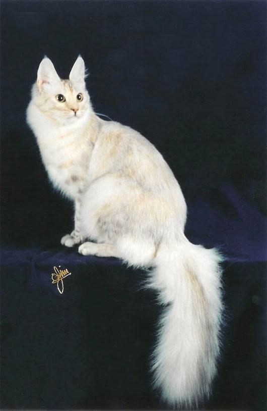Mèo Angora