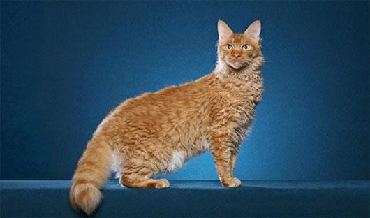 Mèo LaPerm