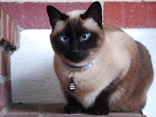Mèo Xiêm có đặc điểm là mắt xanh dương