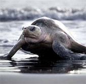 Ấn tượng cảnh hàng trăm nghìn con rùa đổ bộ lên bãi biển