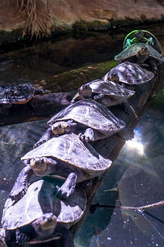 Cảnh tượng rùa bị tắc đường, xếp hàng qua cầu kỳ dị