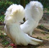 Loài chim có bộ lông như sư tử