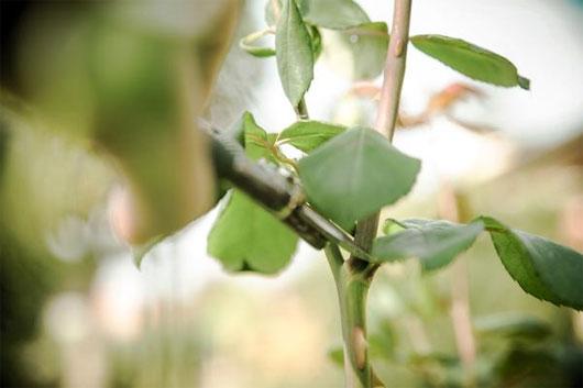 Cắt một đoạn cành hoa hồng dài khoảng 20cm với một góc vát 45 độ