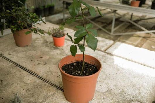 Đặt chậu ở nơi có ánh sáng nhưng tránh ánh nắng trực tiếp nhằm giúp cây làm quen dần với điều kiện thời tiết bên ngoài
