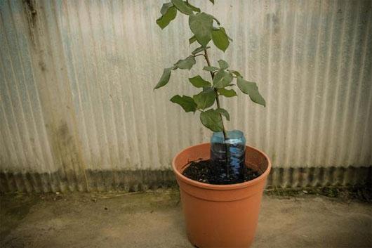 Đặt chậu cây trong sân nhà ở nơi khô ráo, thoáng mát, tránh ánh nắng chiếu trực tiếp.